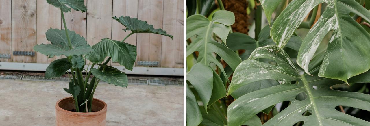 Dieffenbachia groene kamerplant - Bloemenhuis