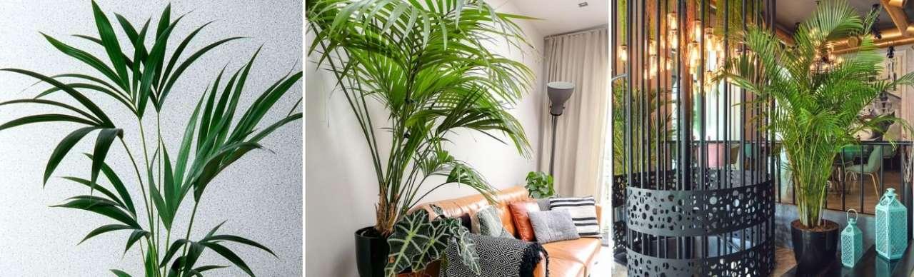 Kentia Palm - Bloemenhuis