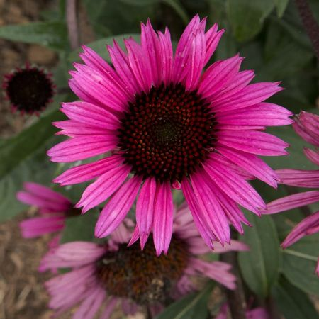 Echinacea p. 'Fatal Attraction'